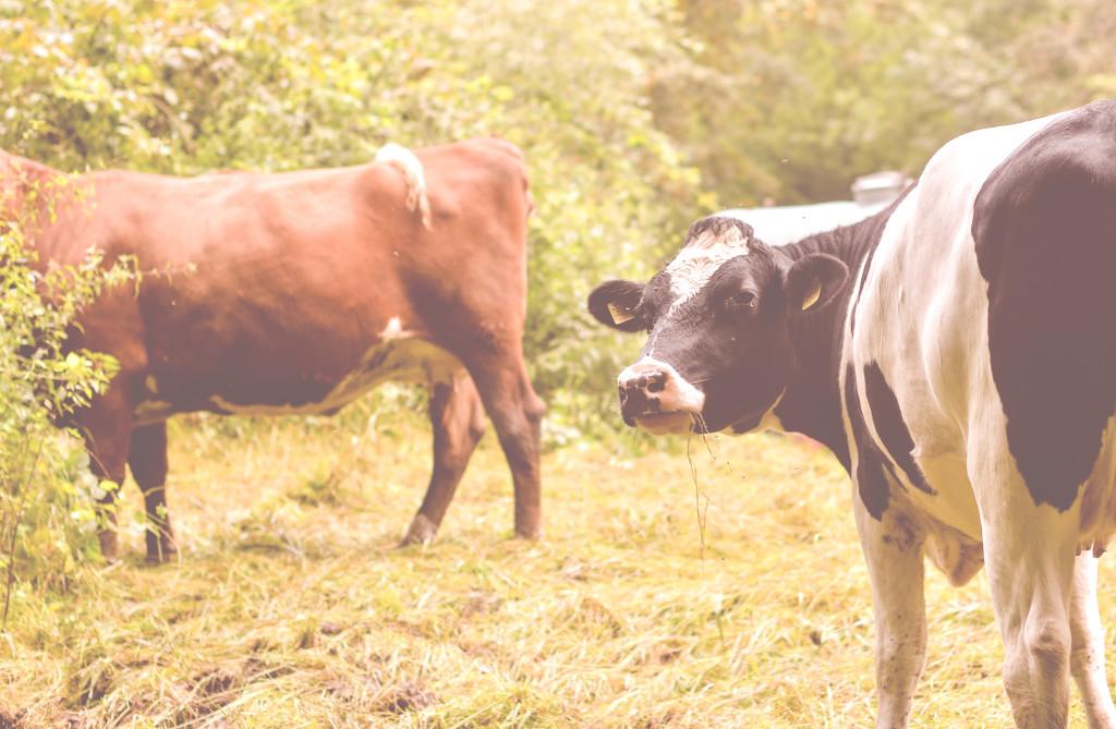 Auch Kühe lieben den Zschonergrund und genießen die frische Luft!