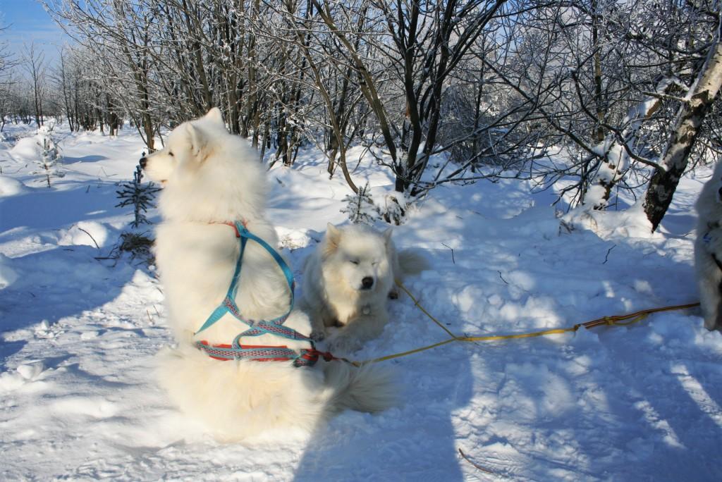 Dresden Wintersport Huskys Hunde