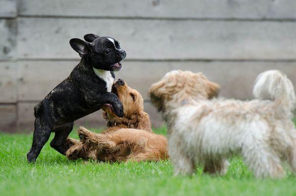 Hunde beim Spielen, Tierbetreuung in Dresden, Quelle: Pixabay