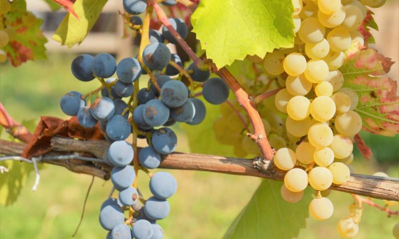 Die herrlich süßen Trauben des Dresdner Elbhangs