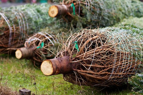 Diese Woche startet der Weihnachtsbaumverkauf in Dresden und Umgebung!