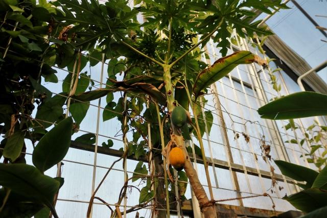 Wer errät was hier für eine Frucht wächst?