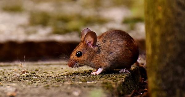 Auch Mäuse und Ratten können schnell zur Plage werden.
