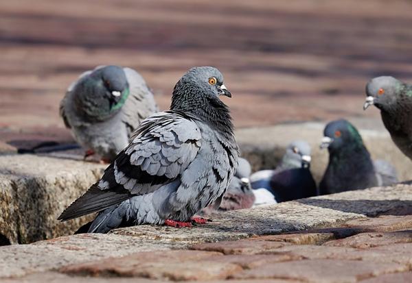 Auch Tauben können zu einem großen Problem werden.